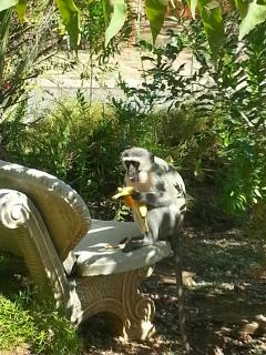 Monkeys enjoy the gardens as much as you will