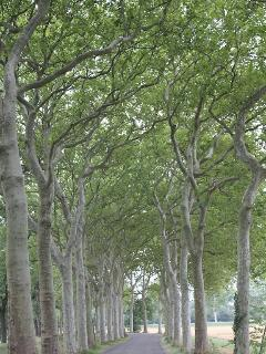 Greenery (and shade) along Napoleon's tree lined avenues