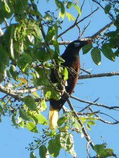You will sometimes see these Oropendola in the tree across from Cabana Beach Condos