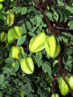 Starfruit, one of the many fruits found on the Estate grounds