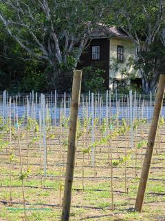 Sinds 2014 heeft Curaçao zijn eigen wijngaard. Bij Landhuis Hato kun je proeven en bezichtigen