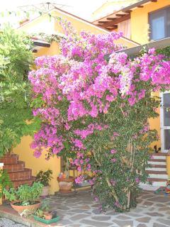 il giardino, bouganvillea