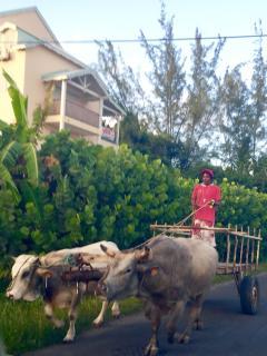 Charrette à bœufs tipique de la région