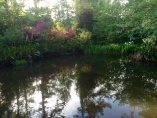 Azalea reflection in garden pool