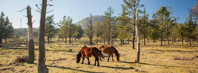 Monte de La Curota. Caballos salvajes