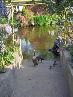 Feeding the ducks, swans and geese from the slipway in the back garden