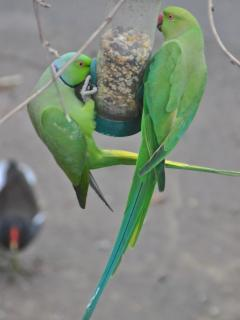 Parakeets feeding over the slipway, with the Moorhen feeding below on the slipway