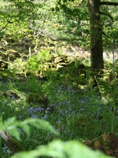 OUR BLUEBELL MEADOW