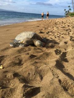 sea turtle on our beach - photo taken by a guest