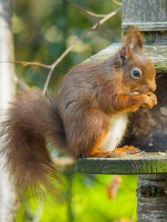 Regular visitors to the garden; red squirrels, birds, badgers & pine marten