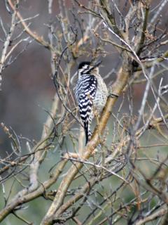 ...and female ladder-back woodpecker