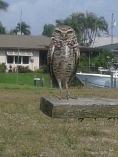 Protected  Burrowing Owl, we call this little chap'Henry' and he guards our road!