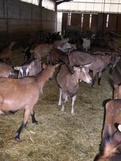 Les chèvres : SANS ELLES PAS DE FROMAGE