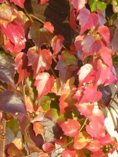 Ivy on the house in Autumn