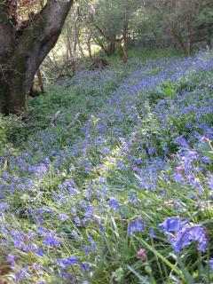 Our bluebell wood. There is a wonderful display by our stream during most of May.