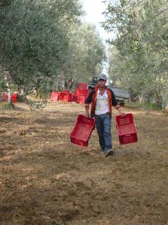 Raccolte delle olive