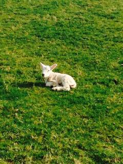 Spring lamb on a sunny day