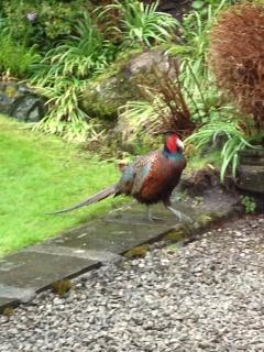 Our local pheasant, frequent visitor often with his gal posse