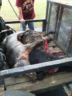 Good hog hunting day.