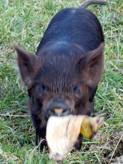 One of our kune kune piglets. Come and feed them.