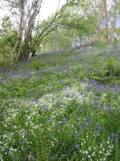 Take a walk through the bluebell woods at Monzievaird.