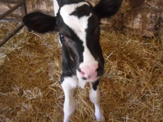 Bubble the baby calf