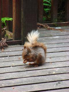 Red Squirrels can be seen on the balcony and in the woodland
