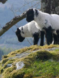 Scottish blackface lambs playing on a rock