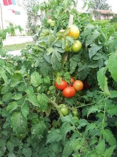 Tomatos and other organic vegetable that grows just by the property and just for you