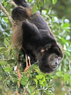 The howler monkeys of the surrounding jungle