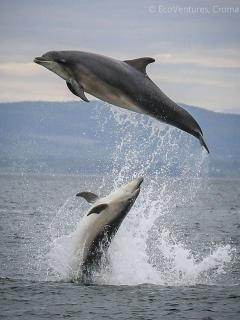 The Dolphins in the Cromarty Firth