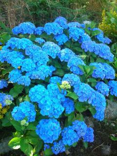 Les hortensias du jardin. Mahalon, village fleuri (label 3 fleurs).