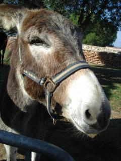 Famous Catalan donkeys you can visit