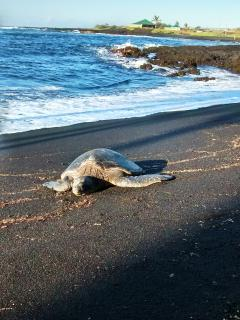 Punalu'u beach is famous for being home to Hawaiian green sea turtles. You'll see them every day.