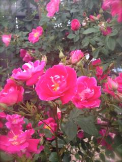 Garden Roses in the summer!