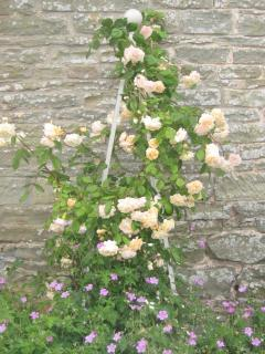 Scented roses in June