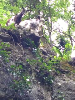 The wild goats in the Gorge are very friendly!