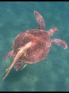 Trois espèces de tortues marines fréquentent nos côtes et y sont facilement observables