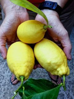 Lemons harvested from the courtyard