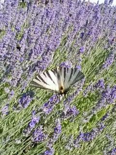 Detail: Podalirio butterfly