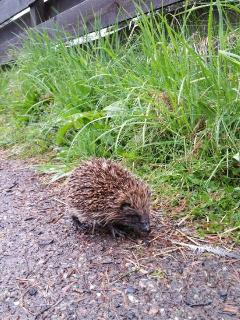 Hedgehogs can often be seen in the garden and nearby woodland areas.