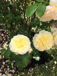 In the summer the scent of the Old English Roses fill the air.