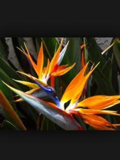 Beautiful Bird of Paradise.