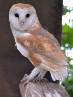 One of many rescued barn owls at The Sanctuary