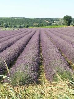 Lavender fields minutes from village