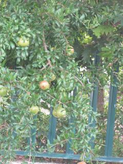 pomegranites....winter garden fruit....