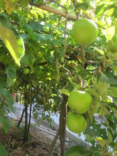 Granny Smiths...our Autumn produce...