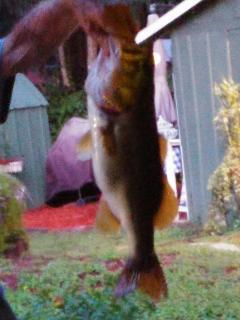 Fresh caught...nice bass July 15, 2015