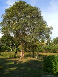 The Bodhi tree, by the Mini Lake