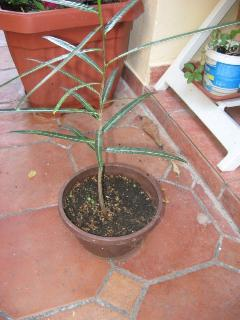 Bottle tree - seedlings grown from seeds - detail on the terrace.